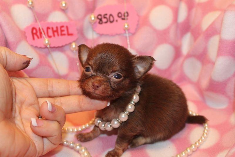Long Hair Chihauhau Puppies For Sale In Texas Dfw Long Hair