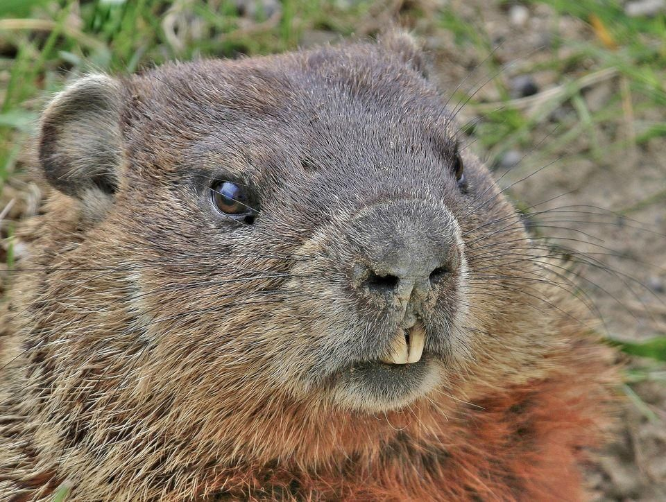 Groundhog Groundhog pictures, Facts for kids, Groundhog day