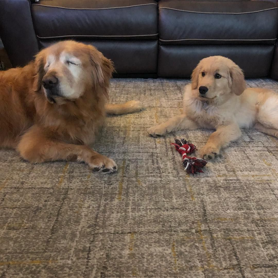 This Blind Golden Retriever And His Seeing Eye Puppy Will Warm