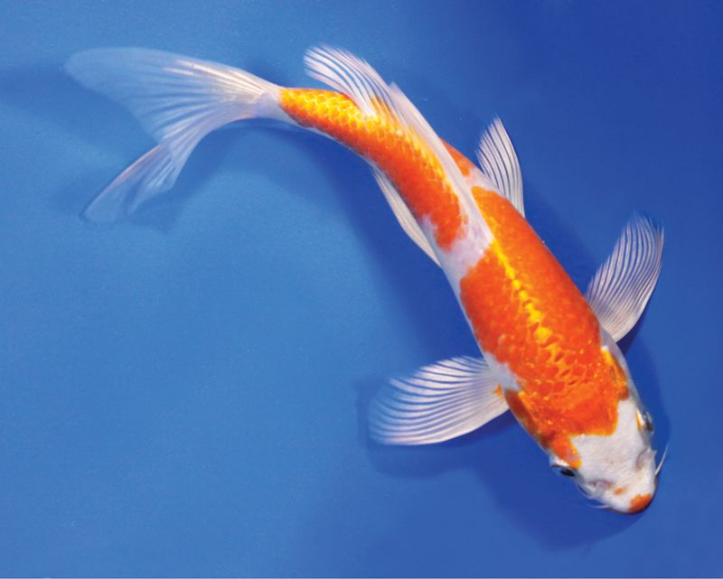 Butterfly koi fish live hariwake butterfly koi fish for Blue and orange koi fish