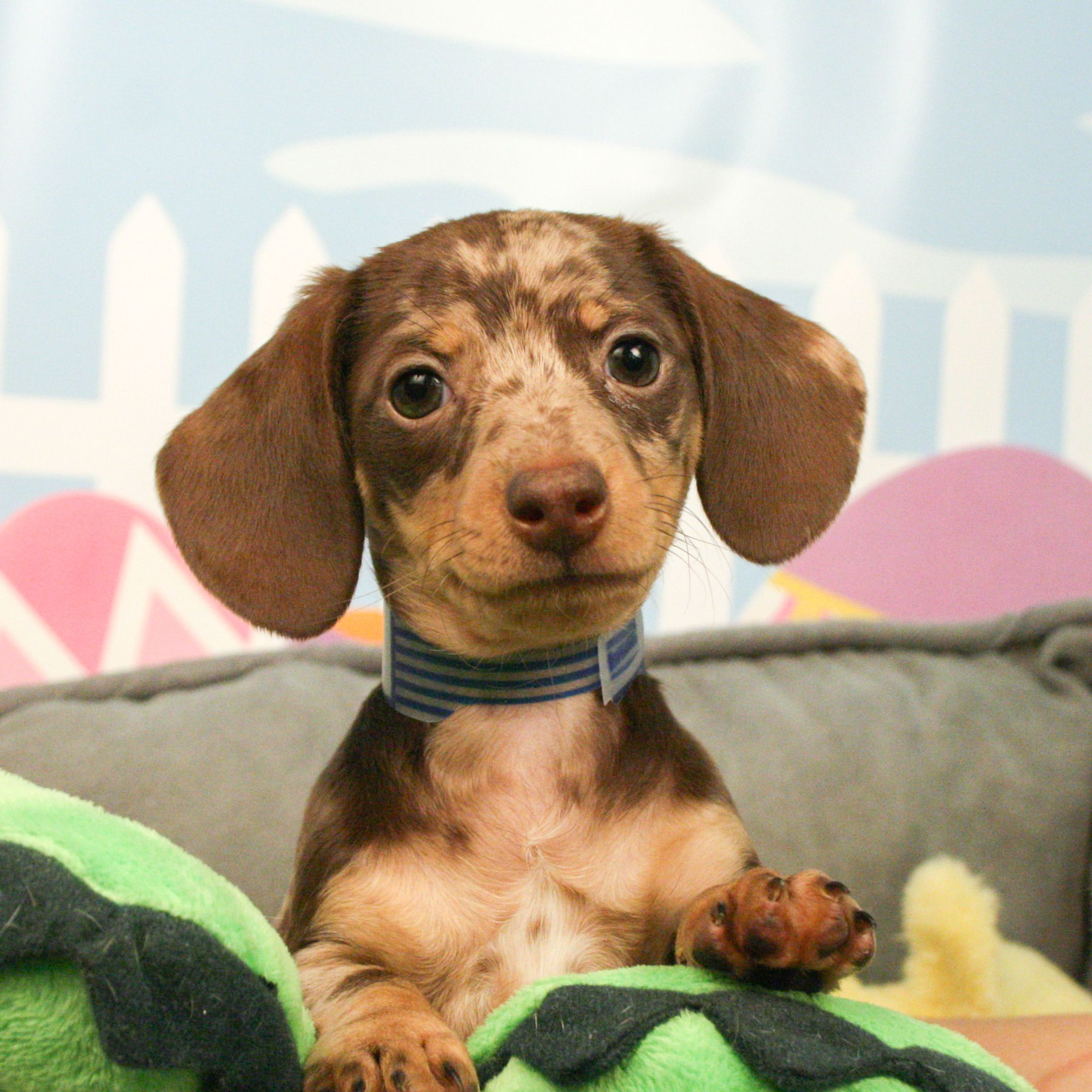 Dachshund Puppies Are So Iconic Dachshund Puppies For Sale