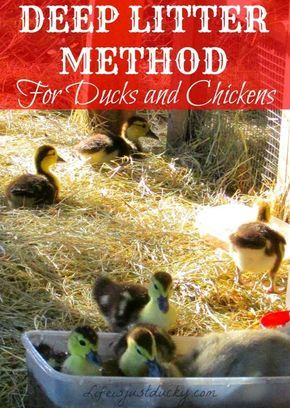 The Deep Litter Method Do you want a clean, healthy, easy to care for duck or chicken coop and run? Then let me tell you about the deep litter method. How I Started Out. When my daughter first brought the ducklings home three years ago, we really knew nothing about raising ducks. She bought a... Read More »
