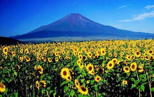 Sunflowers soaking up radiation.  Sugoi!
