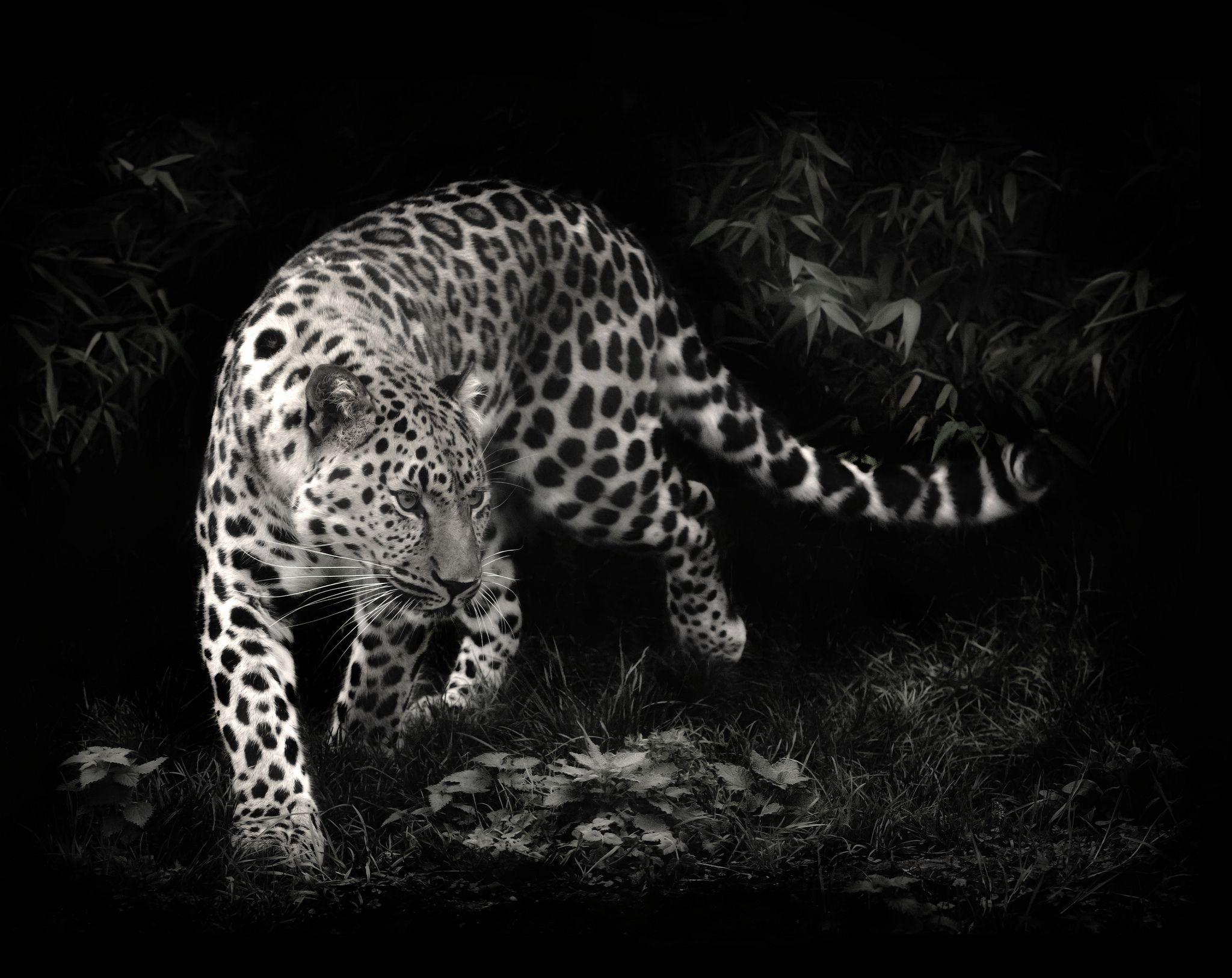 Leopard Desktop Wallpaper Free Download