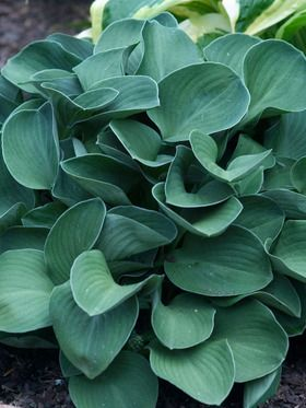 Blue Mouse Ears. The name says it all – tidy, perfectly proportioned tiny mounds of thick, almost rubbery grey-green to blue-green leaves. Flower buds are he...