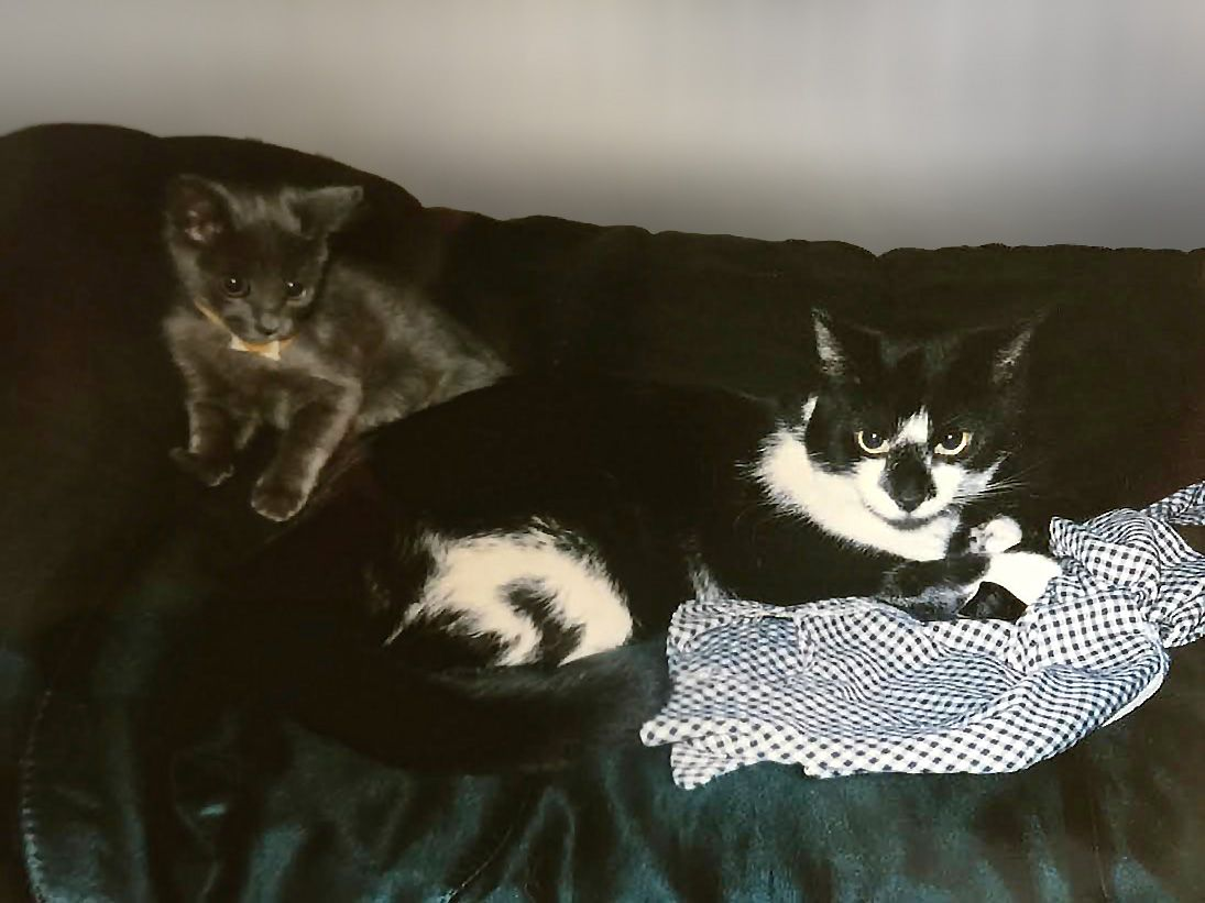 Three Tips For Introducing Kittens To Cats With Images Kittens