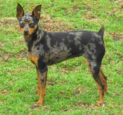Harlequin Pinscher Google Search Miniature Pinscher Pinscher