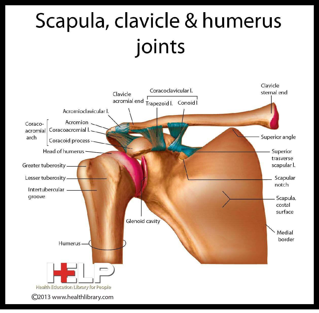 Scapula Clavicle And Humerus Joints Skeletal Pinterest Scapula