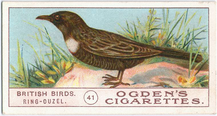 Ring Ouzel New York Public Library Old Paper Pictures