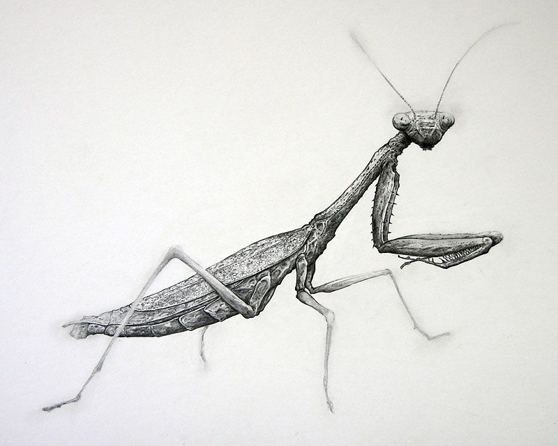 Praying Mantis Mantis Tattoo Insect Tattoo Bug Tattoo