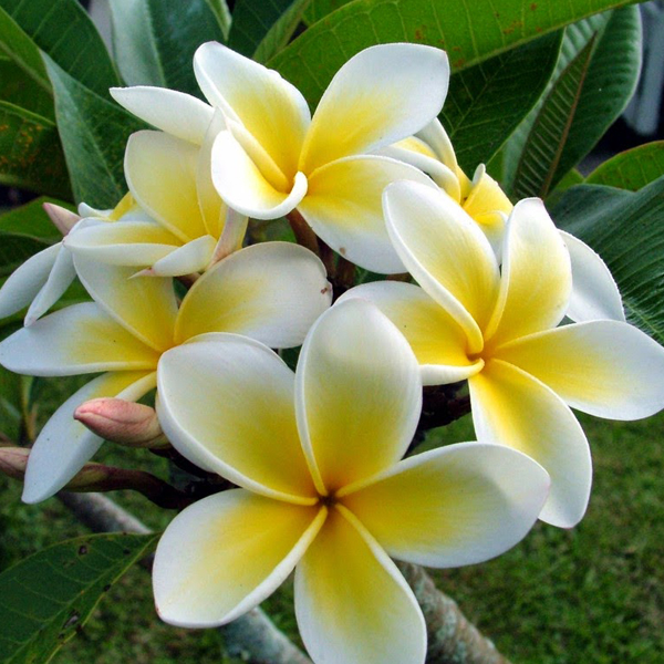 Buy Plumeria Champa Yellow Plant Online At Nurserylive Best Plants At Lowest Price In 2020 Plumeria Flowers Yellow Plants Plumeria Tree