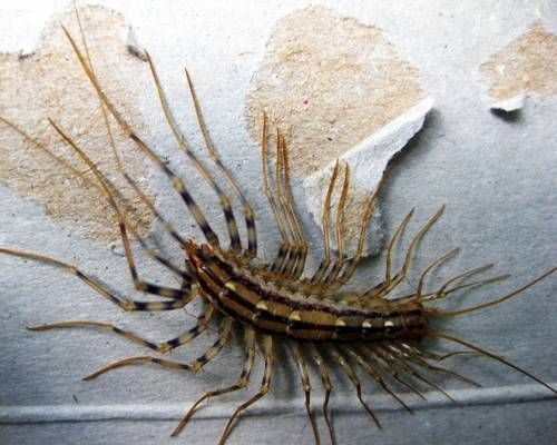 How To Get A Centipede Out Of Your Room