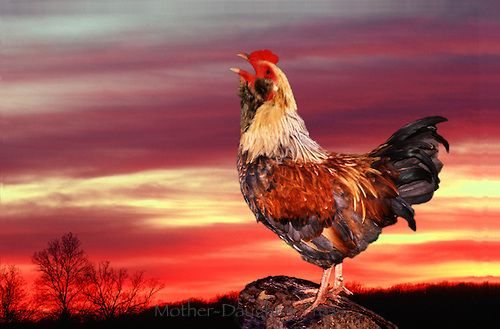 Image result for cockerel chicken making a noise with sunrise
