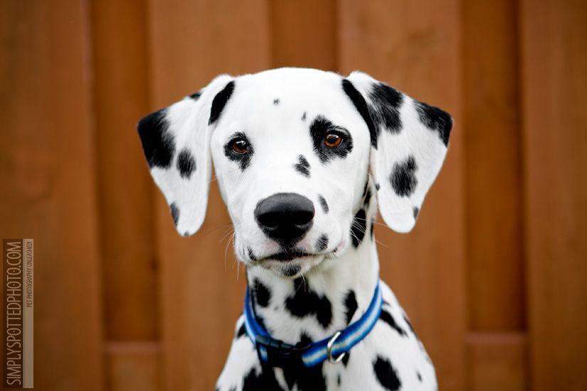 Dalmatian Pet Photographer Pets Dalmatian