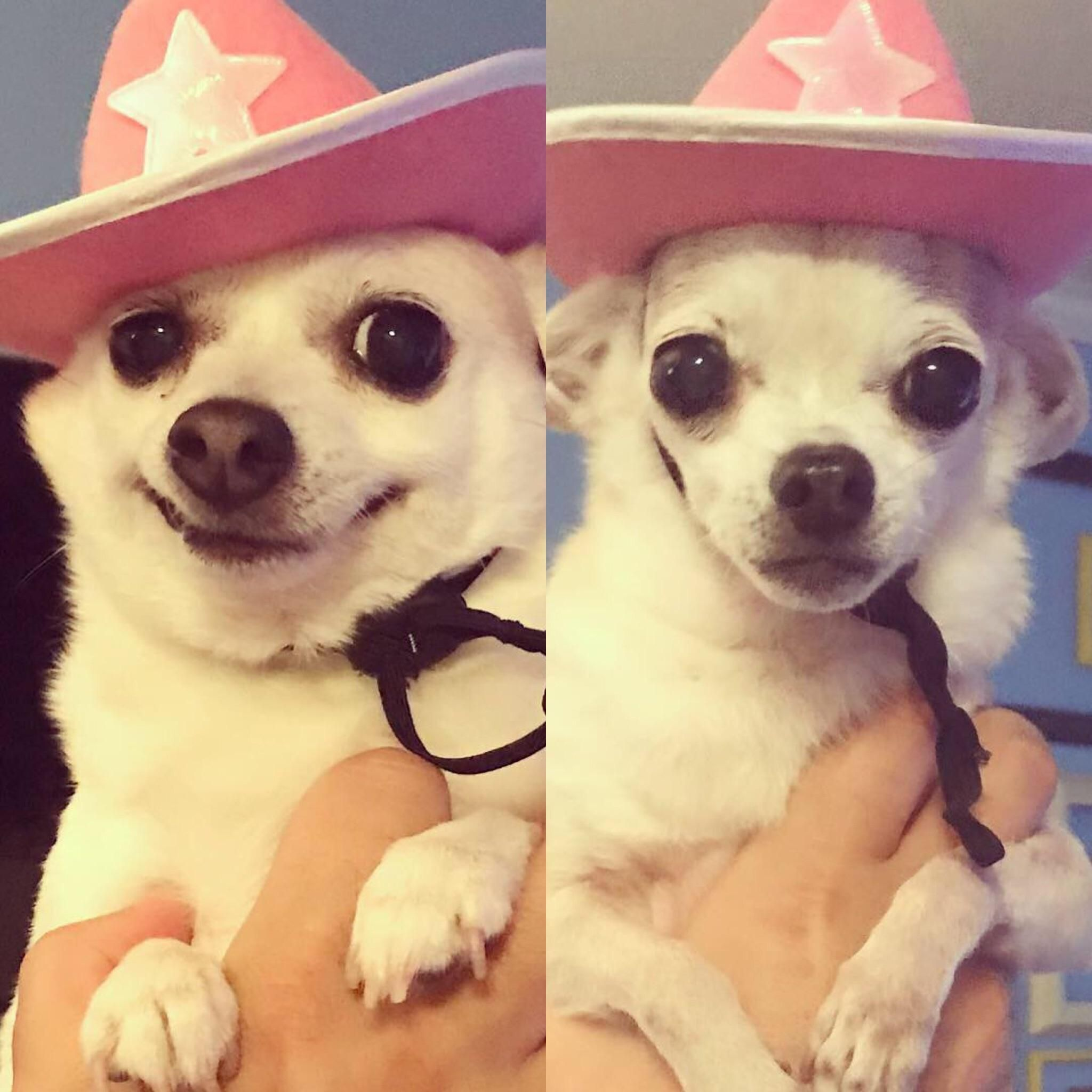 They Also Make Cowboy Hats For Dogs Chihuahua Cowboy Hats Dog Hat Chihuahua Puppies