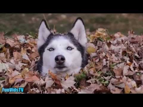 Funny Dogs Video - Funny Dogs Playing In Leaves Compilation - Funny Dog Videos Ever - http://www.gigglefinger.com/funny-dogs-video-funny-dogs-playing-in-leaves-compilation-funny-dog-videos-ever/