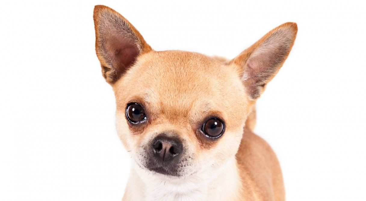 Chihuahua Dog Breed Information Chihuahua Dogs Chihuahua Love