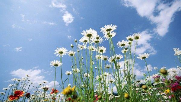 Flowers Sky Glade  HD Flowers Wallpapers  Pinterest  Blume und