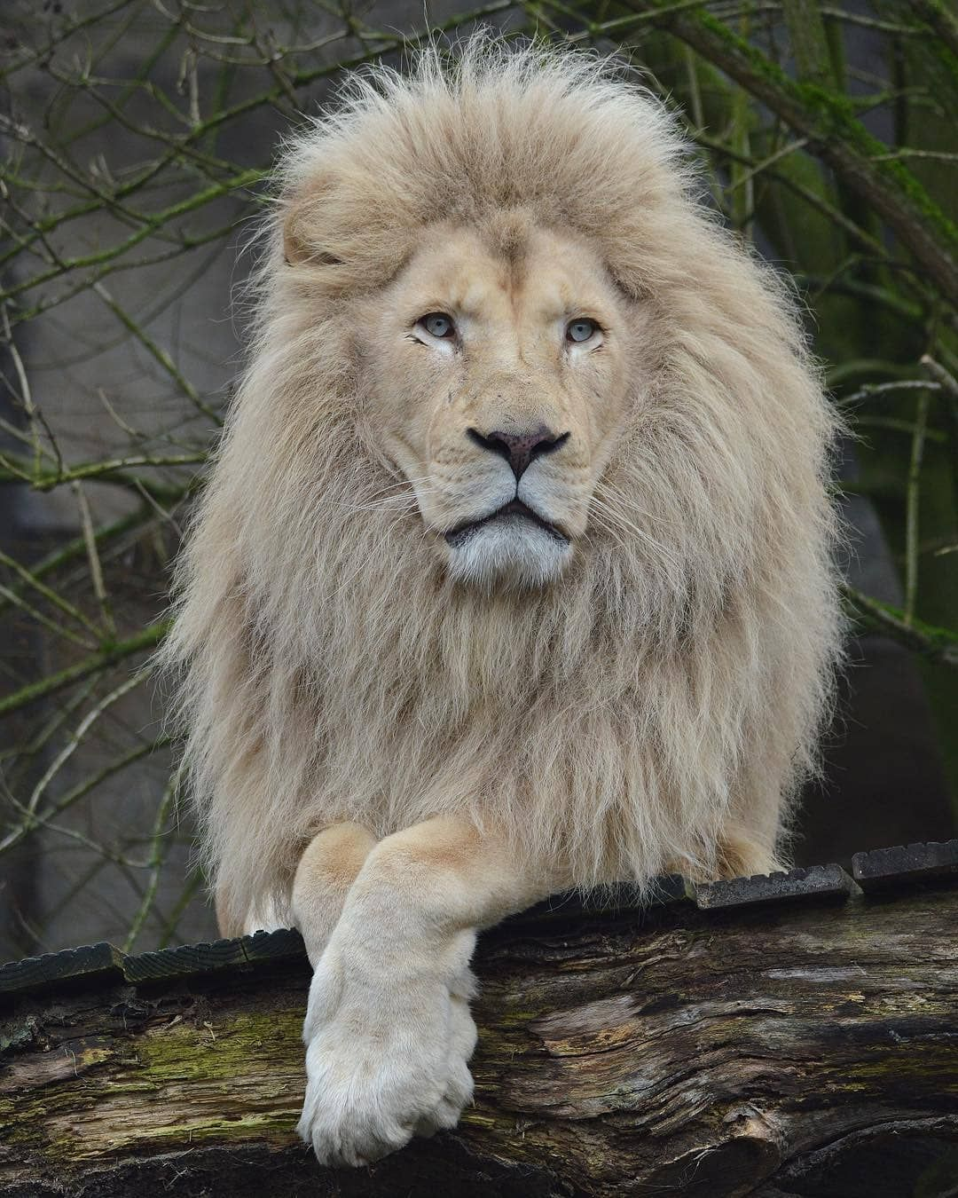 White Lion Photo By Mandenno Photography Wildgeography Lions Photos White Lion Lion Photography