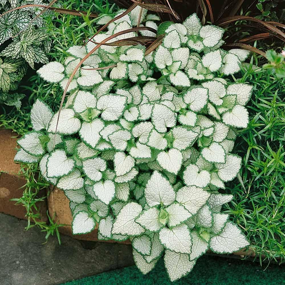 Lamium White Nancy Garden Pinterest Gardens Plants And White