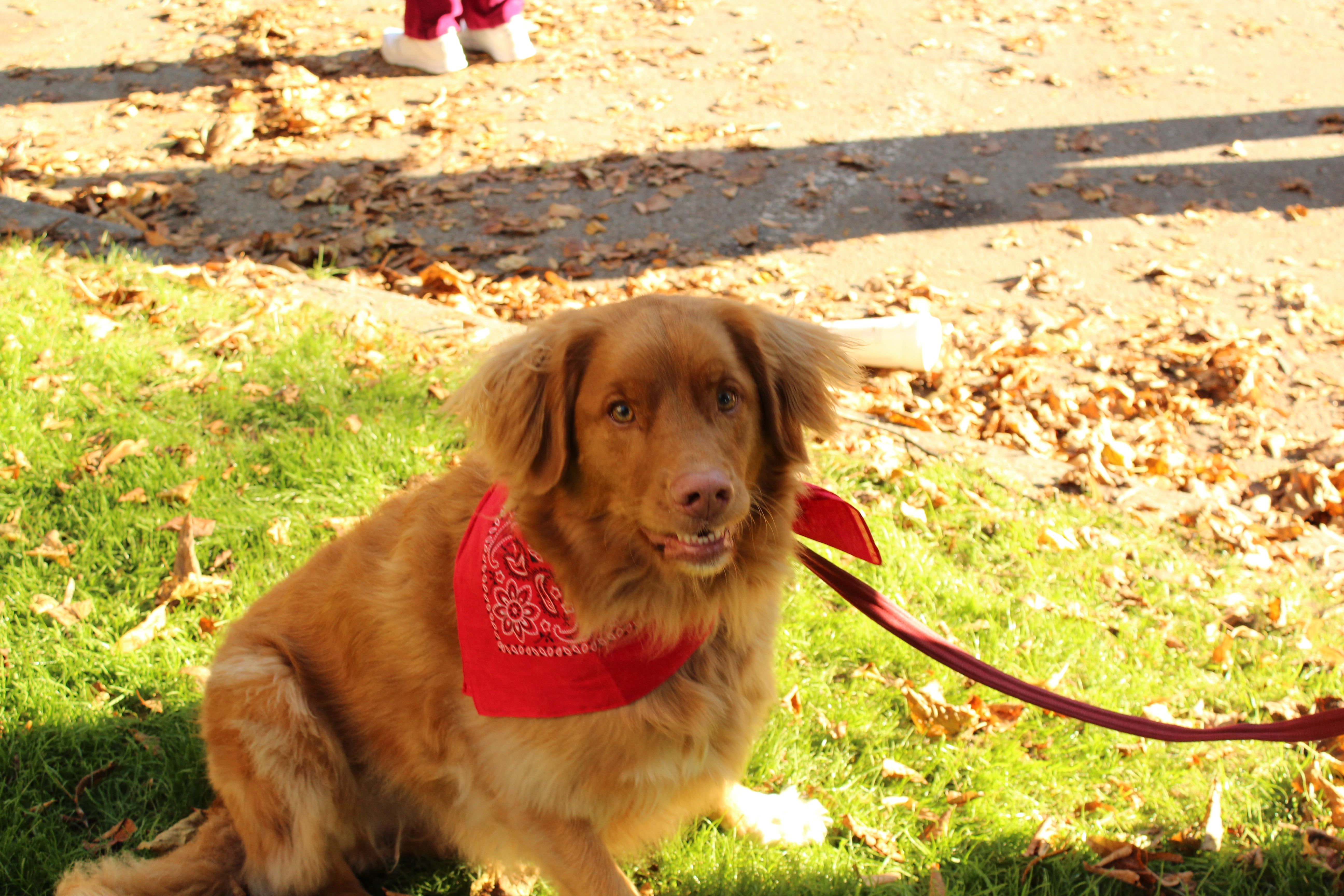 Chance A Nova Scotia Duck Tolling Retriever Hangs Out At Our