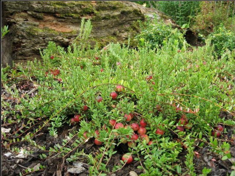 Vaccinium Macrocarpon 'Pilgrim' (Veenbes) - Zon 20cm jul-sep rozerood