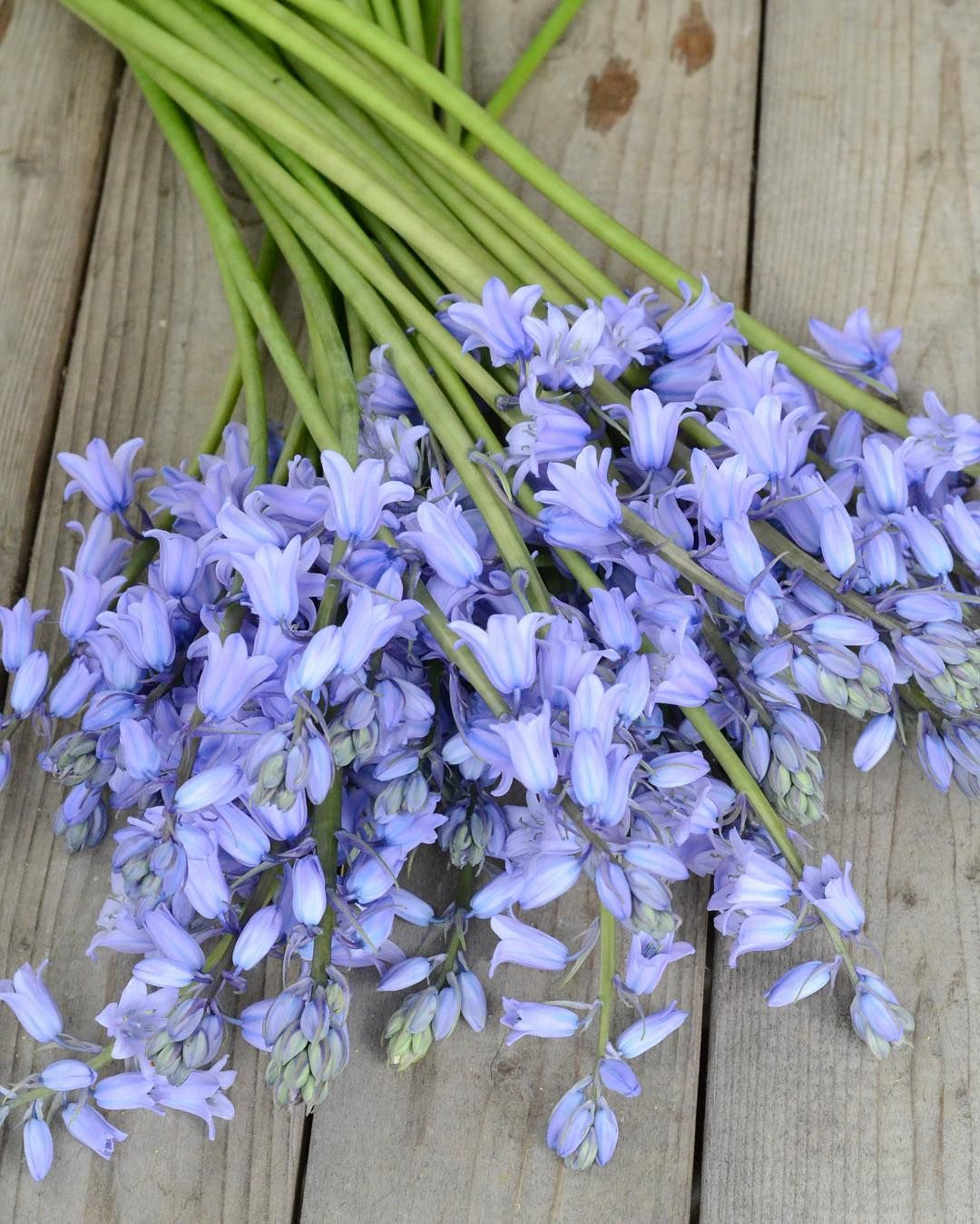 Its A Gorgeous Day For Picking Flowers These Blue Scilla Are