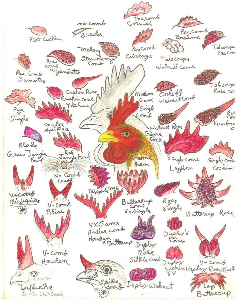 Chicken comb chart really slick animalschickens pinterest chicken comb chart really slick nvjuhfo Gallery