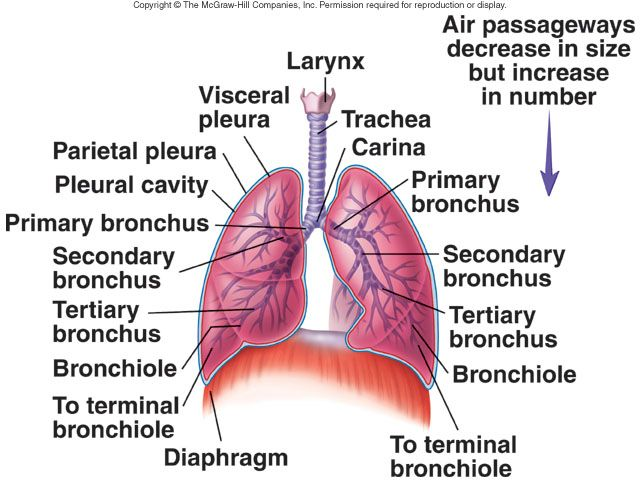Lung Anatomy - Trachea divides to form right and left primary ...