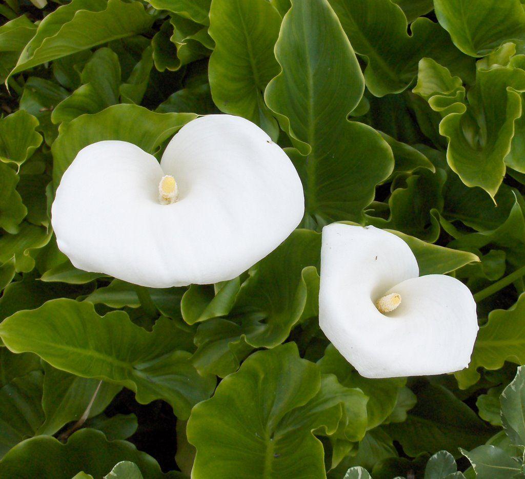 Calla Lilies Flower Beds