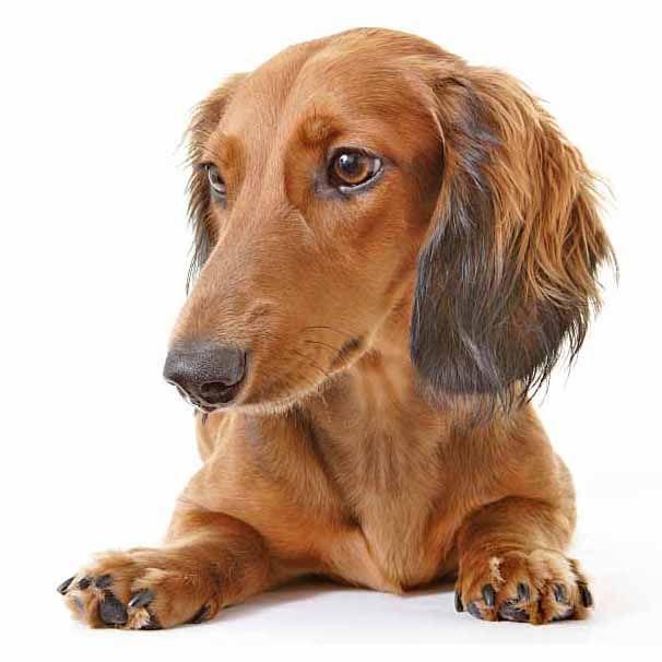 Dachshund Names Cute Male Female Doxie Naming Ideas Brown Dog
