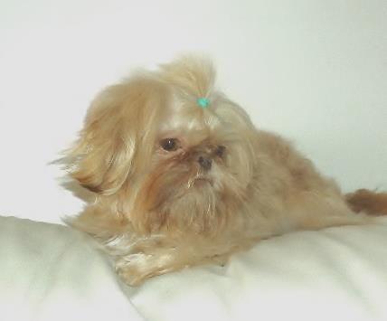 Our Cream Liver Stud Shih Tzu Puppy Shih Tzu Puppies