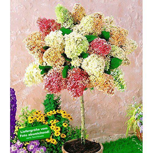 Baldur Garten Hortensien Stämmchen Grandiflora 1 Pflanze