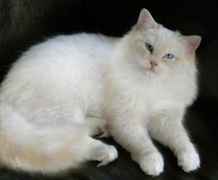 Ragdoll Cats And Kittens Colorado Colorado Ragdoll Cats Cream Gorgeous Cats Cats
