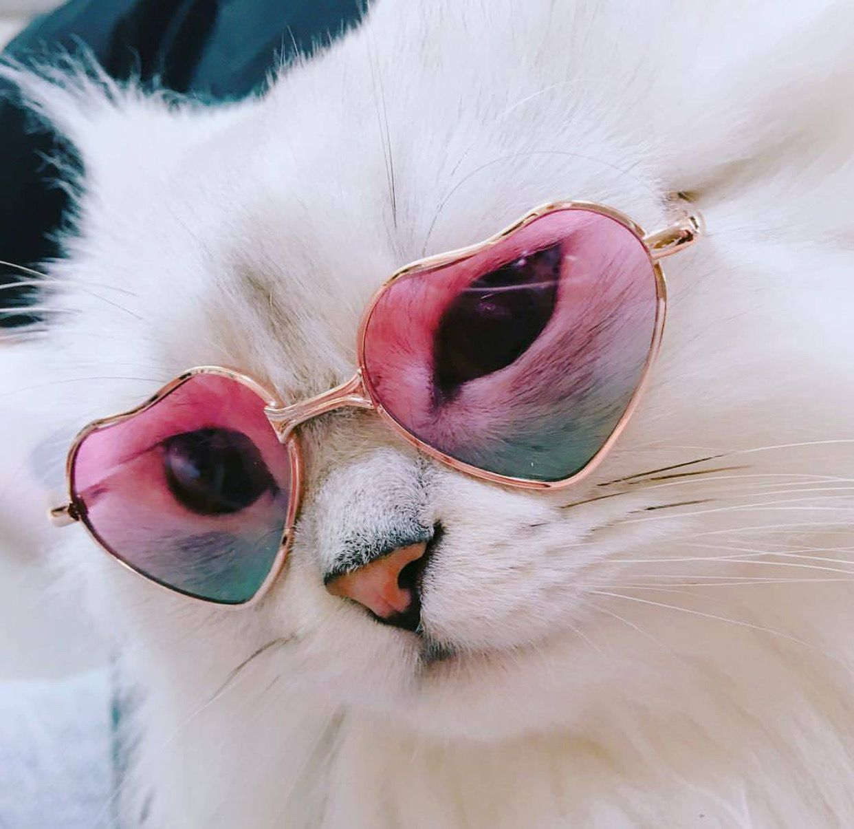 Pinterest itssamsworld Cute cats, Cute animals, Cat glasses