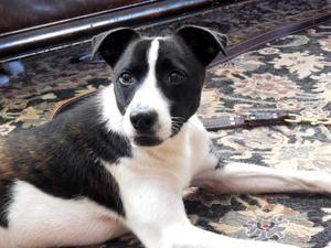Adopt Vinny On Cute Animals Border Collie Mix Border Collie