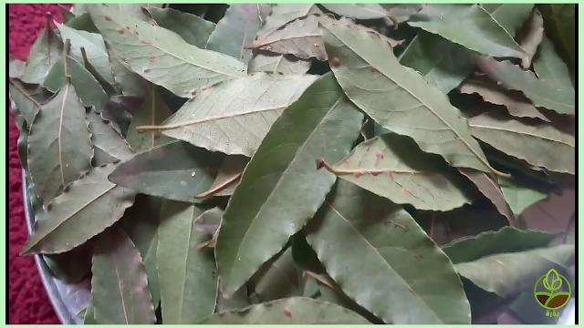 فوائد حرق ورق الغار أو ورقة سيدنا موسى Laurus Nobilis Plant Leaves Laurus Nobilis Plants