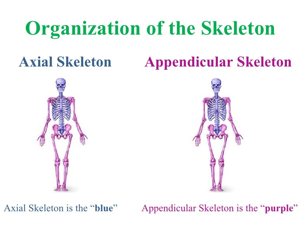 appendicular-skeleton-9226686 by Firedemon13 via Slideshare ...