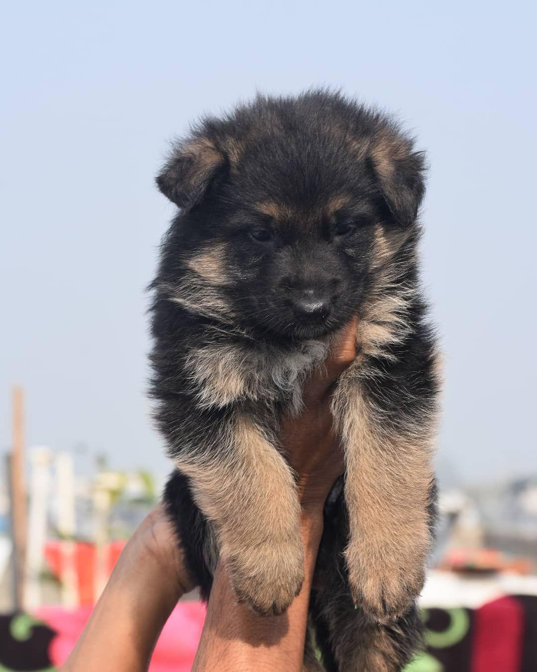 German Shepherd Puppies For Sale In 2020 German Shepherd Puppies Shepherd Puppies Puppies For Sale