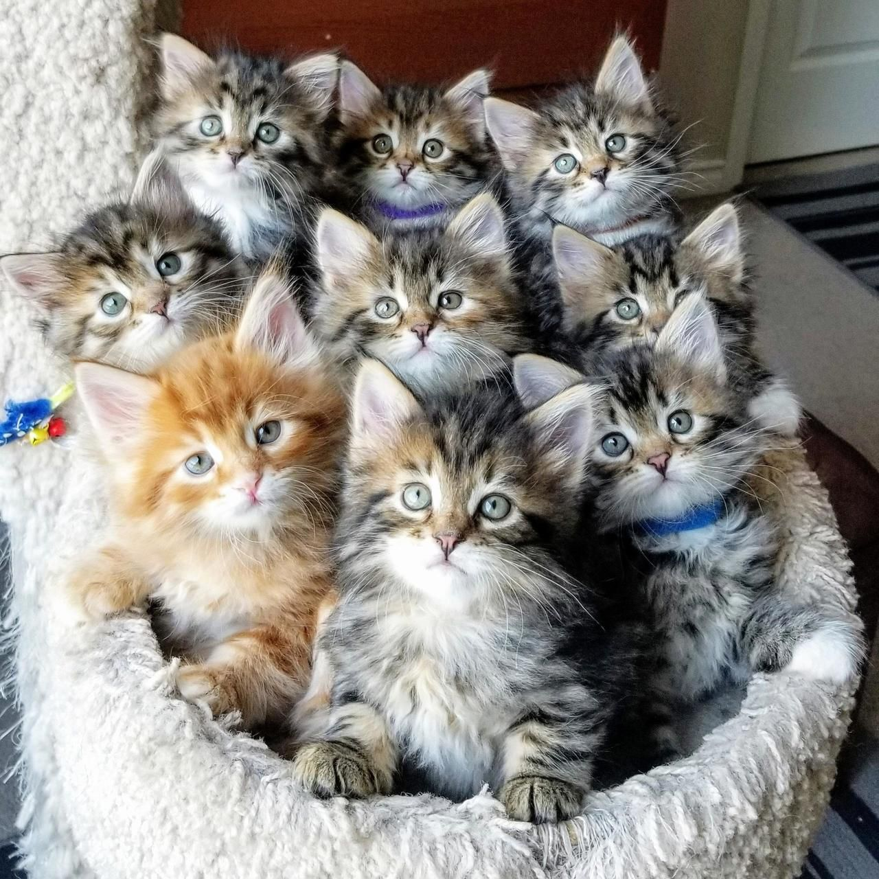 Skippy Teddy236 Awwcutepets 9 Babies Rare Moment In 2020 Kittens Cutest Cute Baby Cats Baby Cats