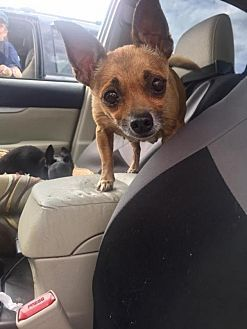 Chihuahua Dog For Adoption In Pittsburgh Pennsylvania