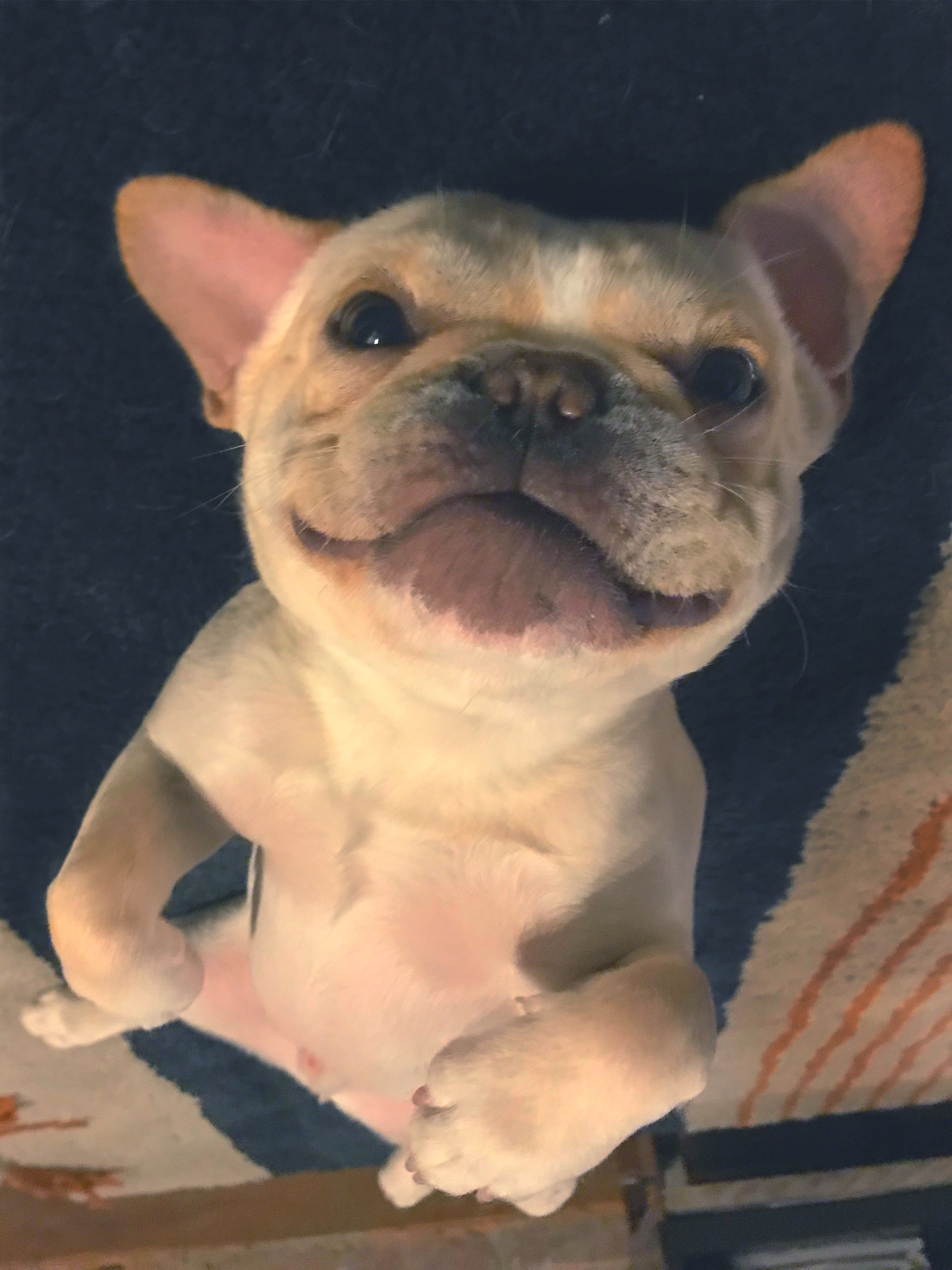 Upside Down Frenchie Frenchbulldog Smile French Bulldog