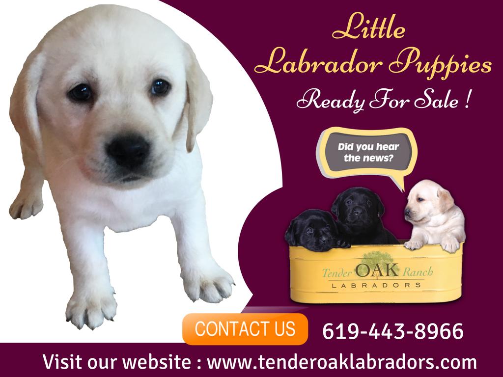 White Labrador Pet Shop In San Diego Labrador Puppy Labrador Puppies For Sale Labrador