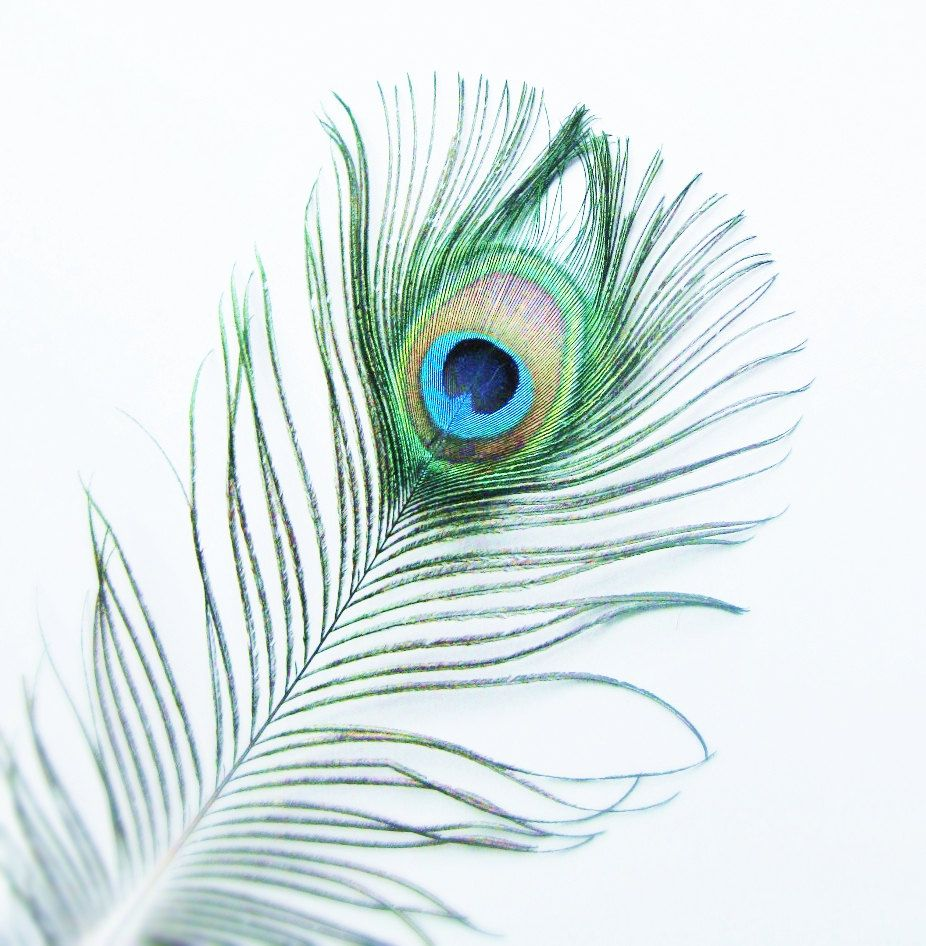 Peacock Feather Photo Photography 5x5 Signed By 132photography Peacock Feather Drawing