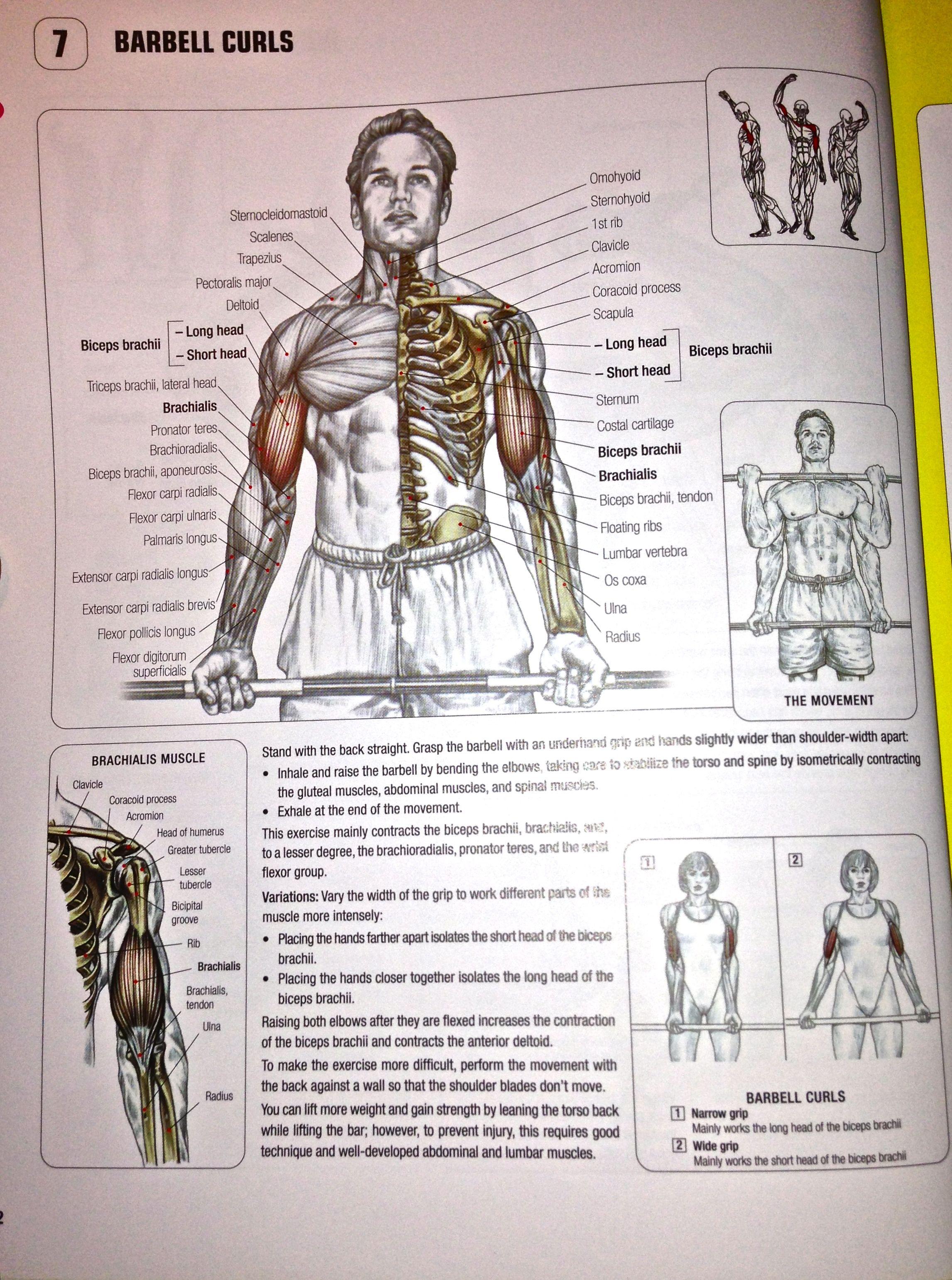 Front Barbell Curls. | Strength Training Anatomy | Pinterest ...