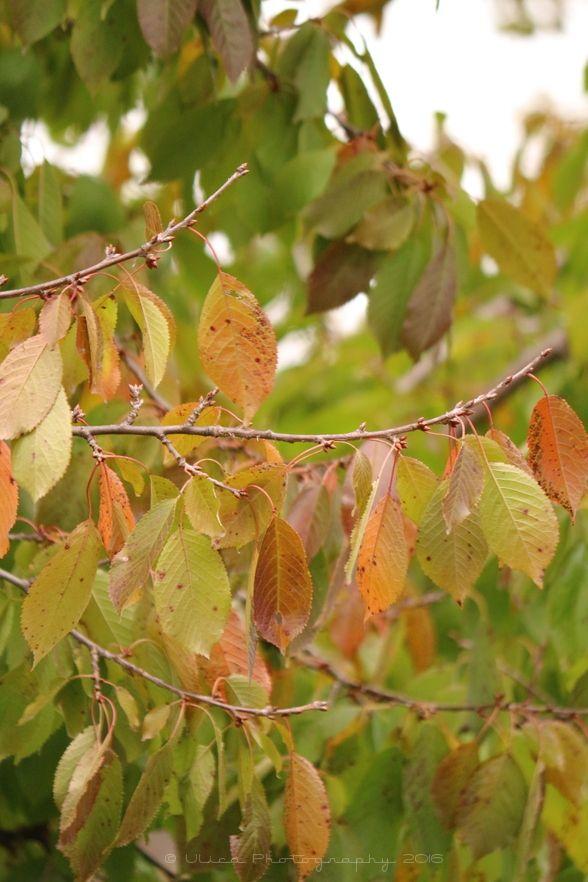 Le foglie del ciliegio illuminano il giardino...