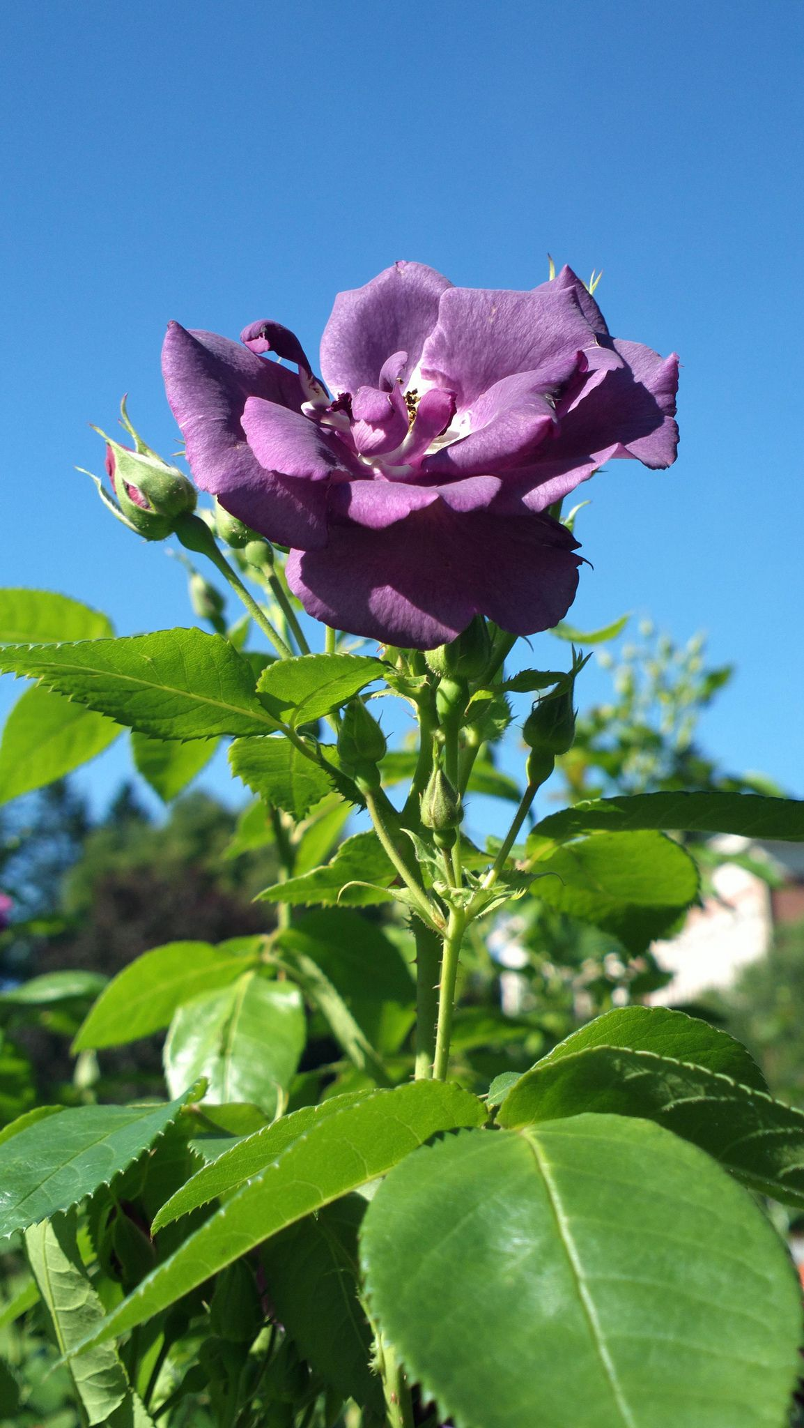 rhapsody in blue landscaping and gardening pinterest rosier planter des fleurs et fleurs. Black Bedroom Furniture Sets. Home Design Ideas