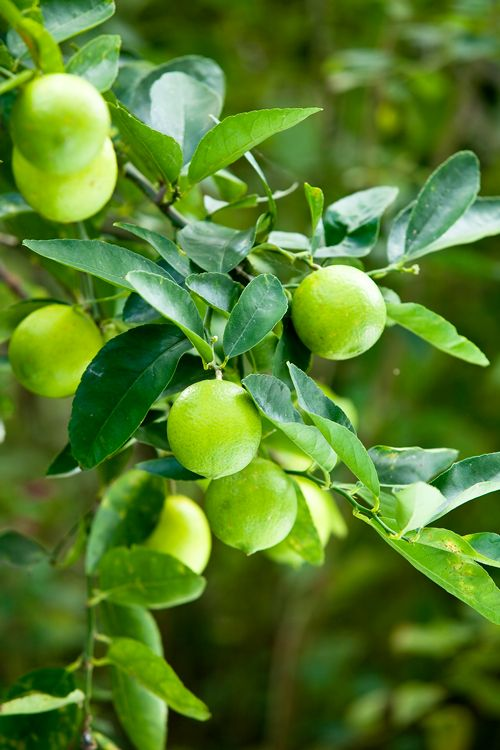 Best Backyard Citrus Care Burke S Backyard Fruit Trees Garden Design Fruit Tree Garden Garden Plants Design