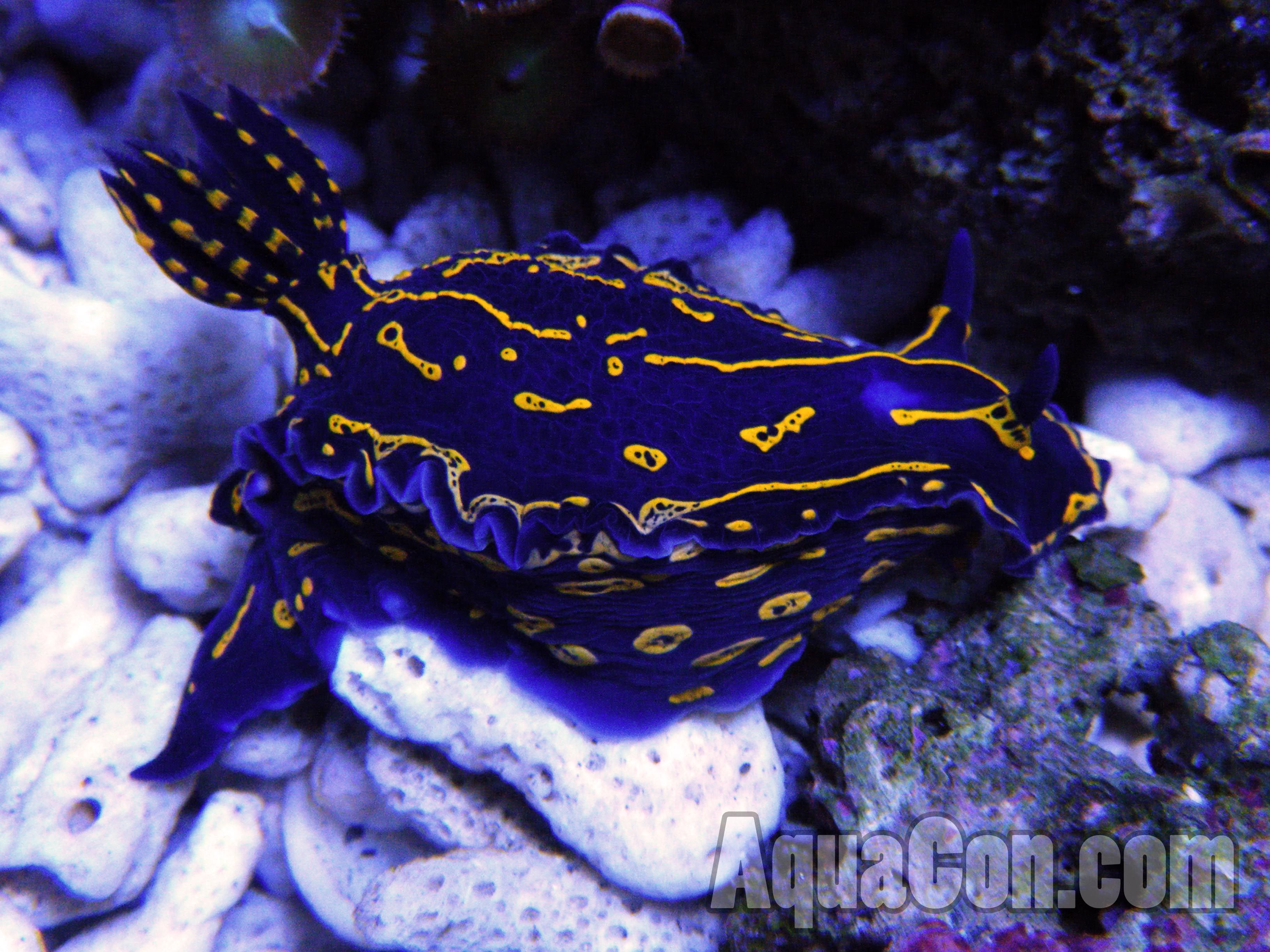 Sea Slugs Are Also Called Nudibranch With Care May Be Kept In The Saltwater Reef Aquarium Or Invertebrate Aquar Sea Slug Saltwater Aquarium Fish Aquarium Fish