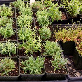 Homegrown Herbal Remedies